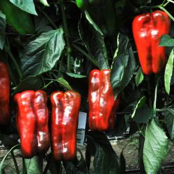 """Pimiento Rojo """"Lamuyo"""" de Huerta EL GURULLO (1 Kg.)"""