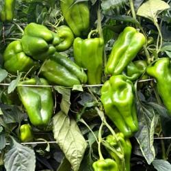 """Pimiento Verde """"Lamuyo"""" de Huerta EL GURULLO (1 Kg.)"""